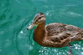 duck-1533446_1920