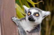 lemur-1045220_1280