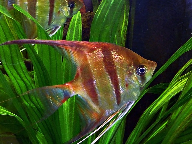 angel-fish-57060_640