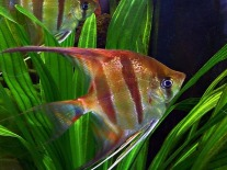 angel-fish-57060_640